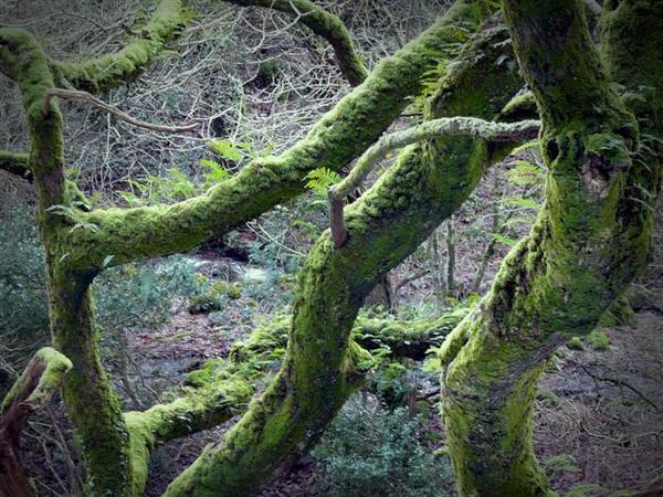 Mosses in Horner Wood, keeping the oak branches warm - nature's own woolly pullover! Photo by Nigel Hester