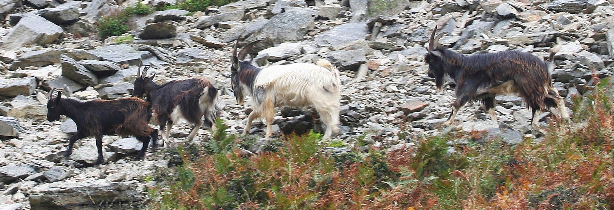 Goats at the Valley of the Rocks. By Peter French. http://www.flyingtigers.co.uk/