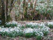 206 Rosi Davis Snowdrop Valley