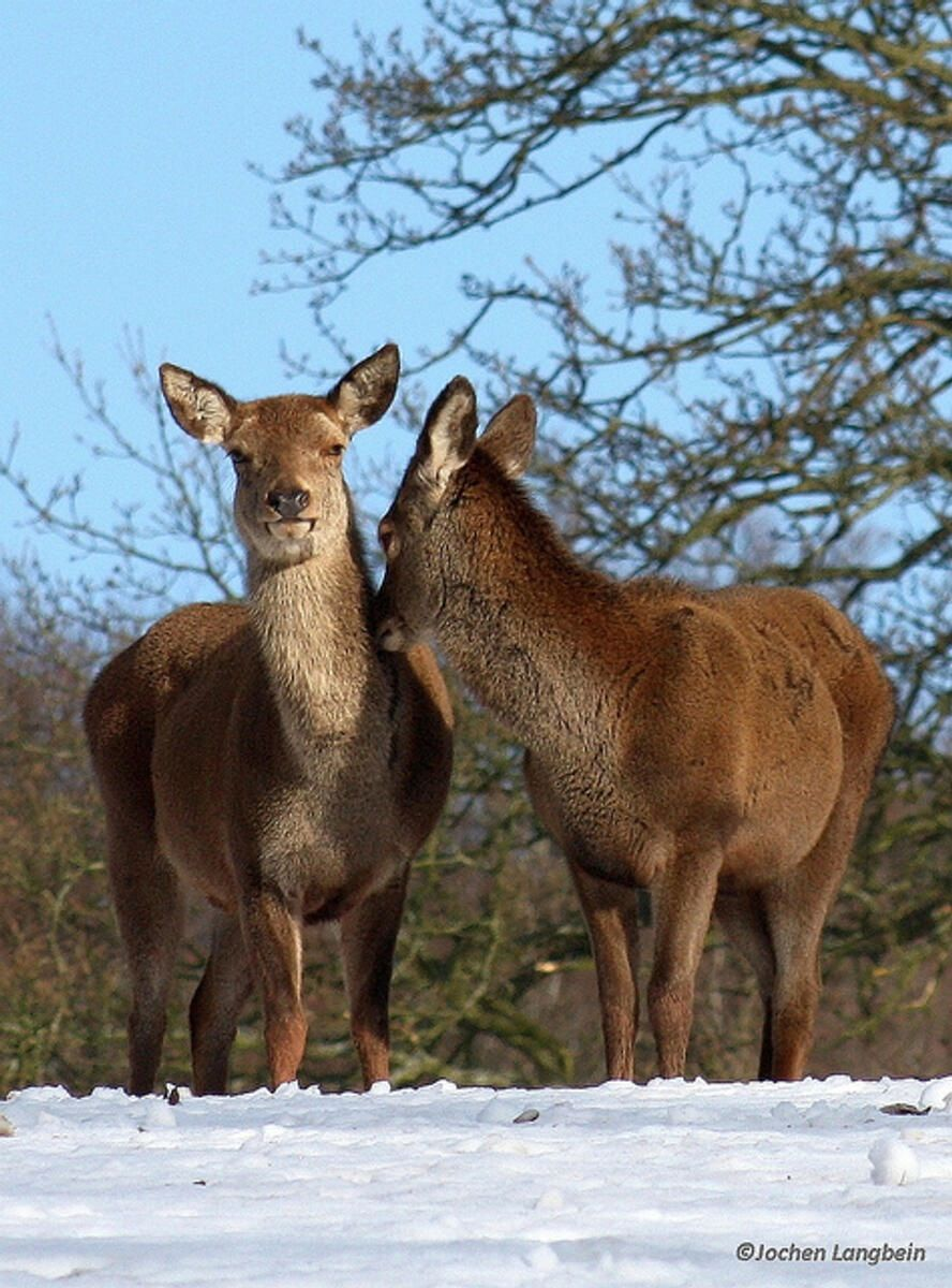 Hinds in the Snow. By Jochen Langbein