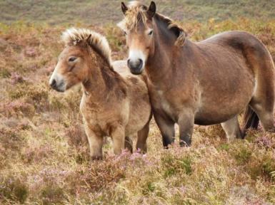 Exmoor Ponies. By Experience Exmoor www.exmoorexperience.co.uk