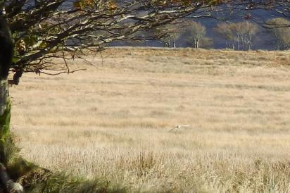 Barn owl hunting - Experience Exmoor www.experienceexmoor.co.uk