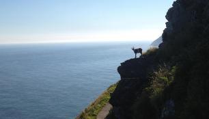 Goat on the North Walk, Lynton. By Amanda Perkins
