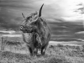 Highland Cattle. By Robert Hatton http://www.roberthattonphotography.co.uk/