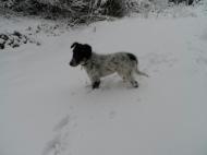 324 AnneMarie Huxtable SnowDog 12 wks Collie Cross