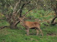 Red Deer on Exmoor (Rupert Kirby)