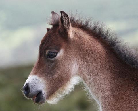 Exmoor Foal. Photo Peter French www.flyingtigers.co.uk
