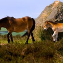 Exmoor Ponies on Anstey Common (Dave Rowlatt)