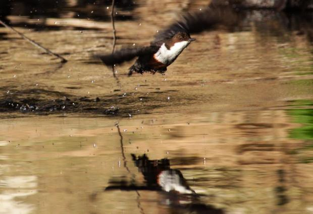 A Dipper on a River near Dulverton. By Peter French