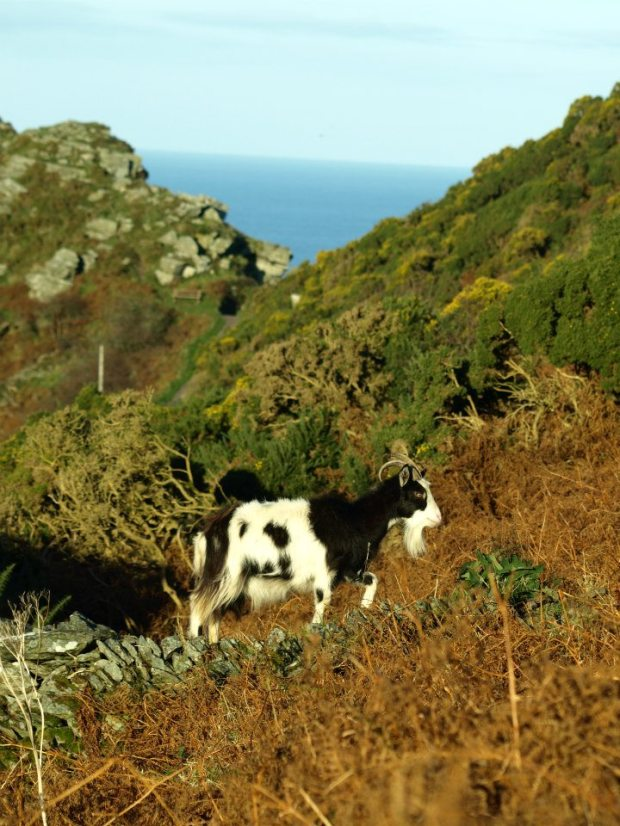 One of Exmoor's locals! Feral goats in the Valley of the Rock near Lynton. (Rupert Kirby)