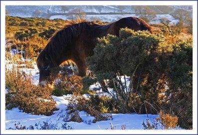 Grazing Exmoor Pony by Dave Rowlatt http://www.davidjrowlattphotography.com/