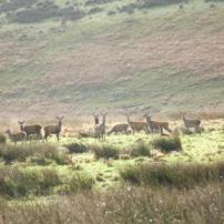 Hinds and young stag on Dunkery (Jim Winzer)