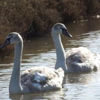 Swans on the Marsh, Bossington Beach (Jim Winzer)