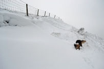loki rolling in the snow south cliff lynton by Phil Perkins 1