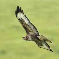 Buzzard near Dunkery (Peter French)