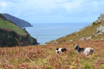 The Valley of Rocks is known for its herd of feral goats.