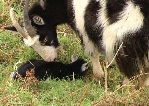 New born feral goat in the Valley of the Rocks. Photo by Ken Blakey