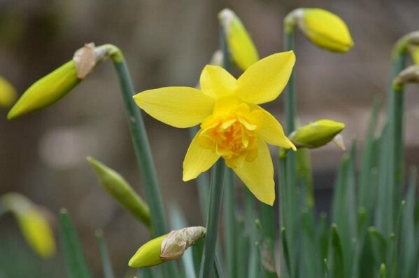210 Teresa Kirk Daffodil