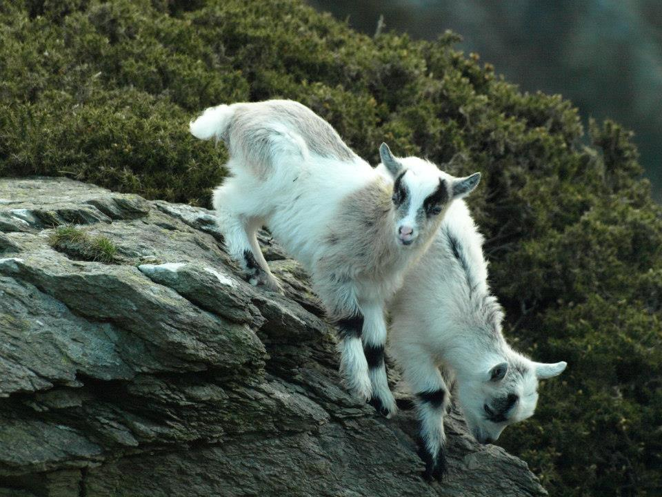 New kids in the Valley of the Rocks