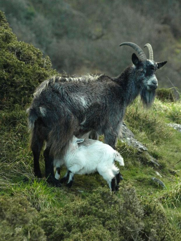 312 Goats