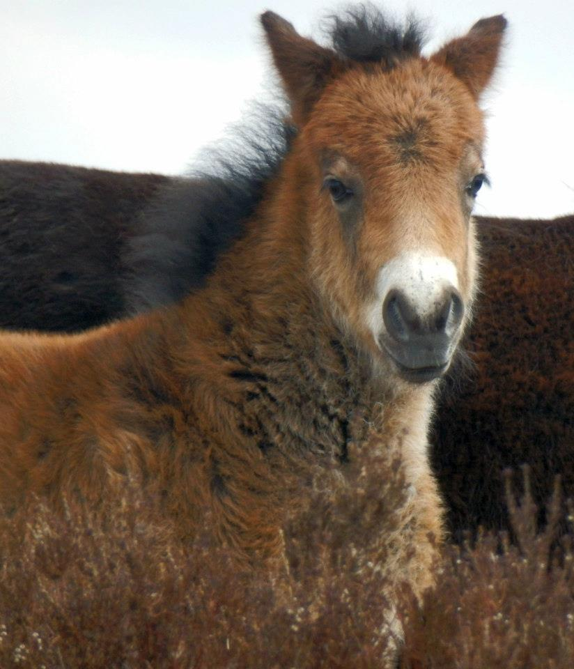 401 Experience Exmoor Exmoor Pony foal