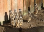 8meerkat group 2 (2) crop