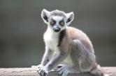 baby lemur 1