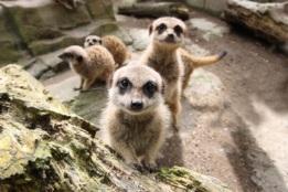 meerkat group 2