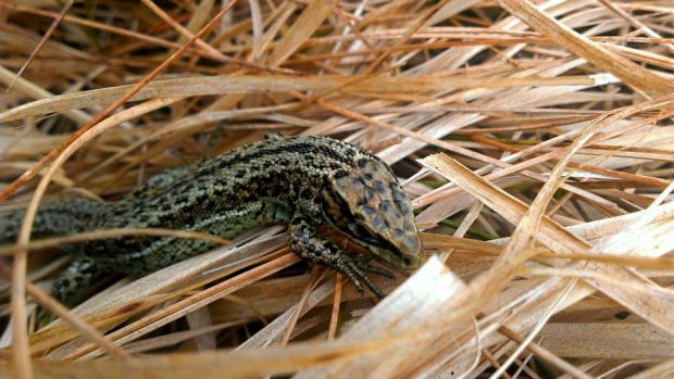 102 Exmoor Mires Common Lizard