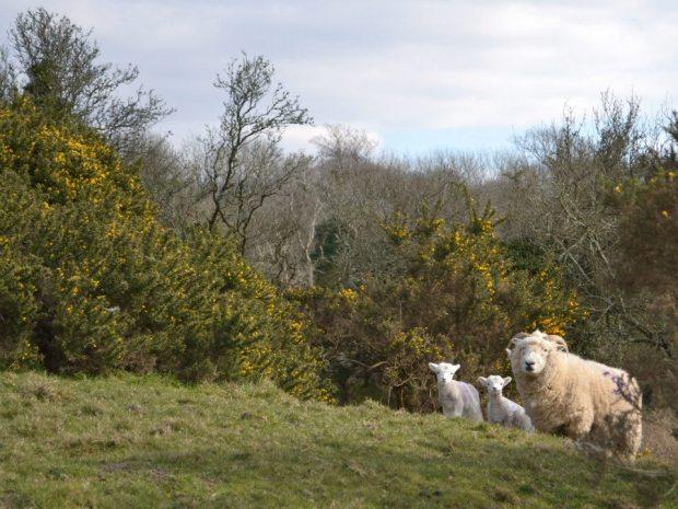 201 Experience Exmoor Exmoor Horns with coats