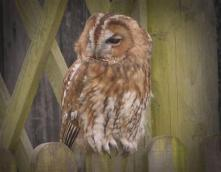 201 Nigel Hester Owl