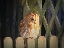 202 Nigel Hester Owl