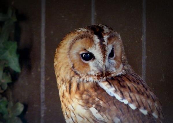 203 Nigel Hester Owl