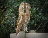 204 Nigel Hester Owl