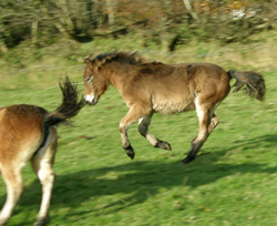 Orion, the Exmoor Pony