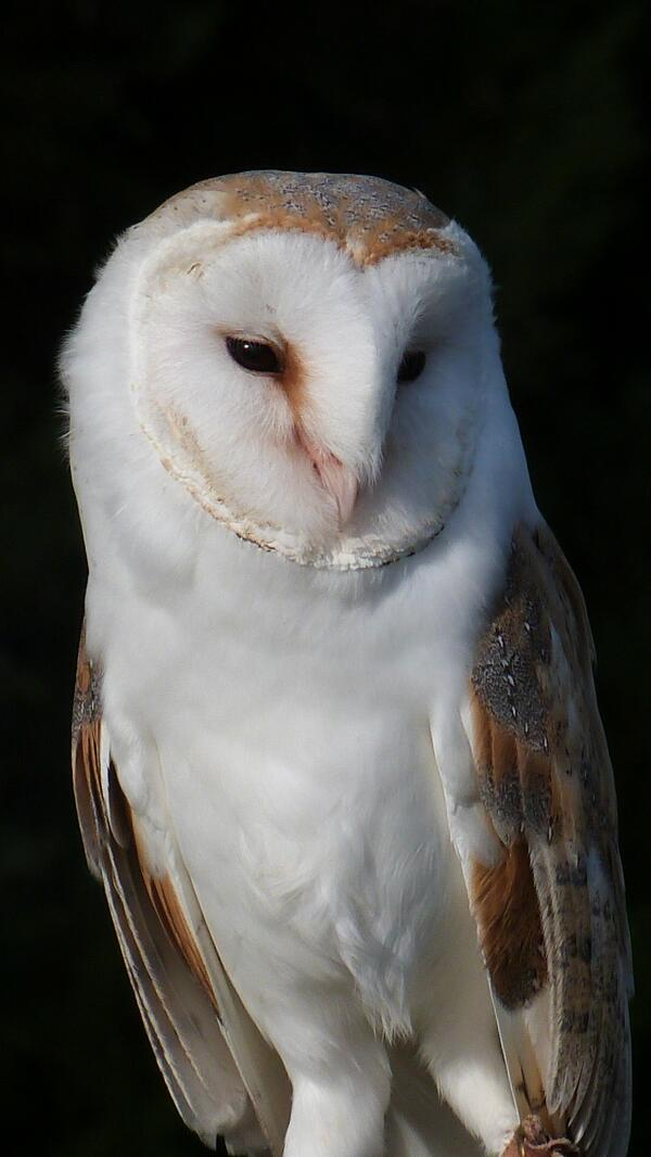 103 AlexWaldron98 A L E X 10 May Took this picture off a Barn Owl whilst in Exmoor national park....