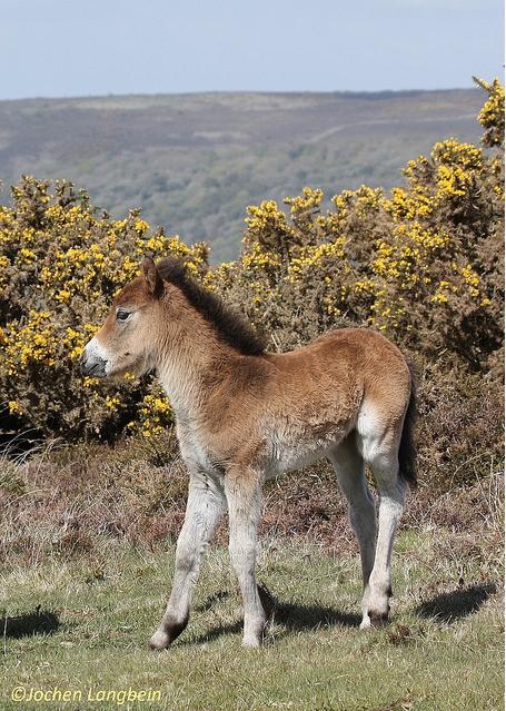 202 Jochen Langbein Exmoor Foal and goarse