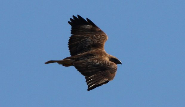 Buzzard on the edge of the wind at County Gate. Photo by Peter French