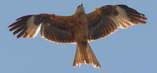 702 Red Kite