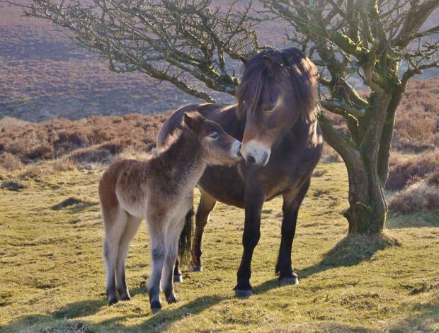Exmoor pony and her foal. Photo by Rosie Schneider
