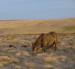 The High Country Exmoor Pony near Simonsbath