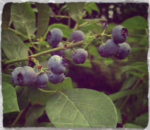 bilberries2