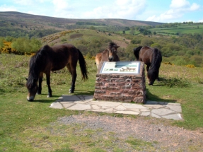 Exmoor Ponies at Webbers Post
