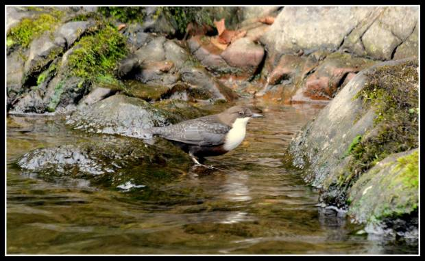 Photo by Peter Ducket, taken on the River Lyn near Watersmeet