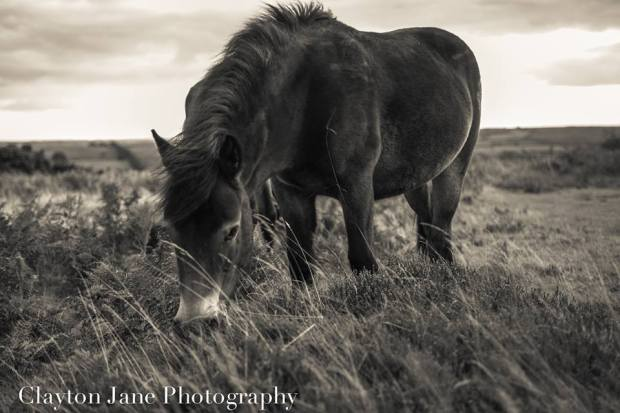 Exmoor Pony, photographed by Clayton Jane in mid-September 2013