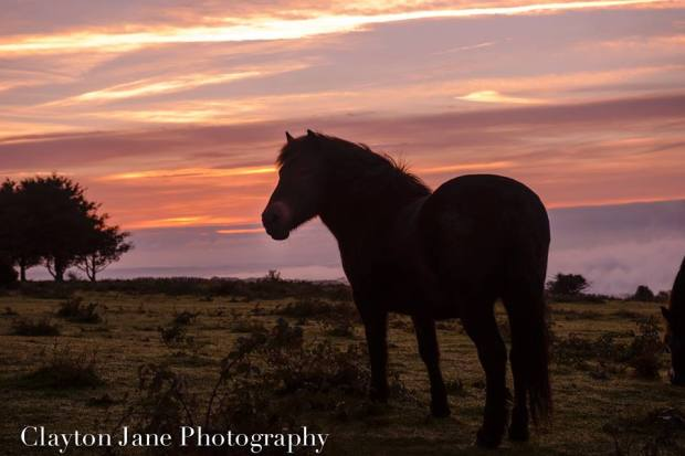 107 Clayton Jane Exmoor Ponies - morning