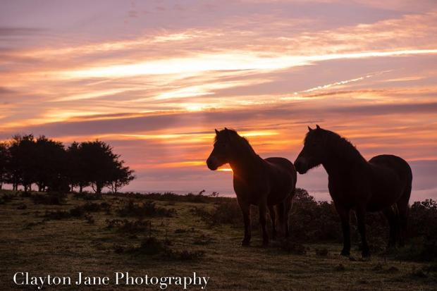 108 Clayton Jane Exmoor Ponies - morning