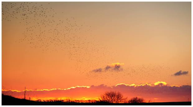 Starlings taking to the sky near Twitchen. www.twitchen.co.uk