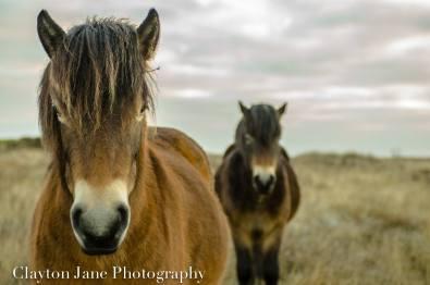 603 Clayton Jane Exmoor Pony