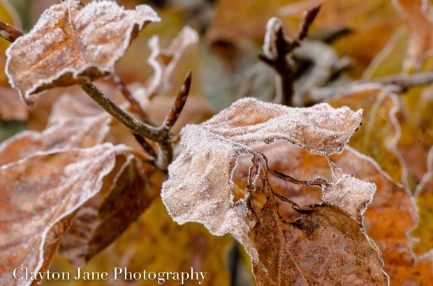 604 Clayton Jane Frosted Leaves